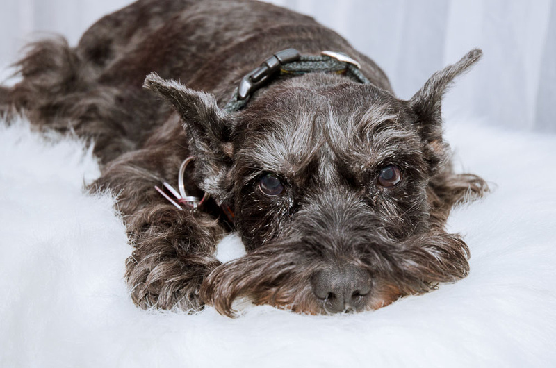 A sweet close up image of a schnauzer dog lying down on a white, furry carpet